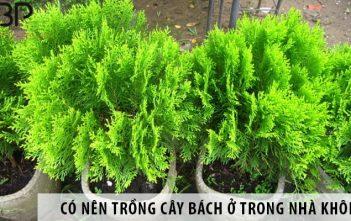Có nên trồng cây bách ở trong nhà không? 1