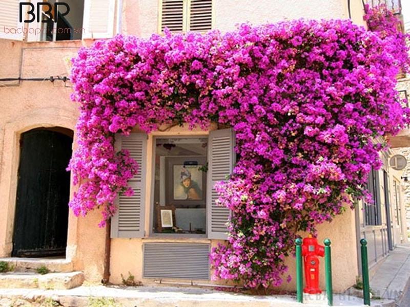 Có nên trồng cây hoa giấy ở trước nhà không? 1