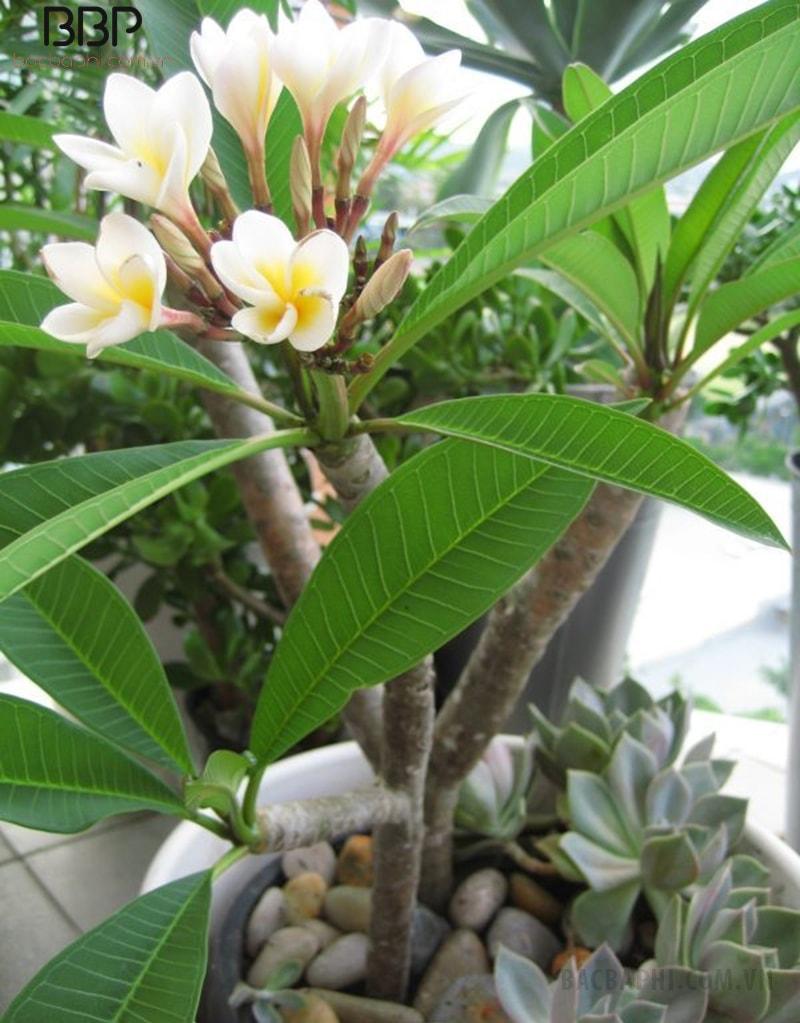 Cây hoa sứ màu vàng hợp với mệnh Thổ