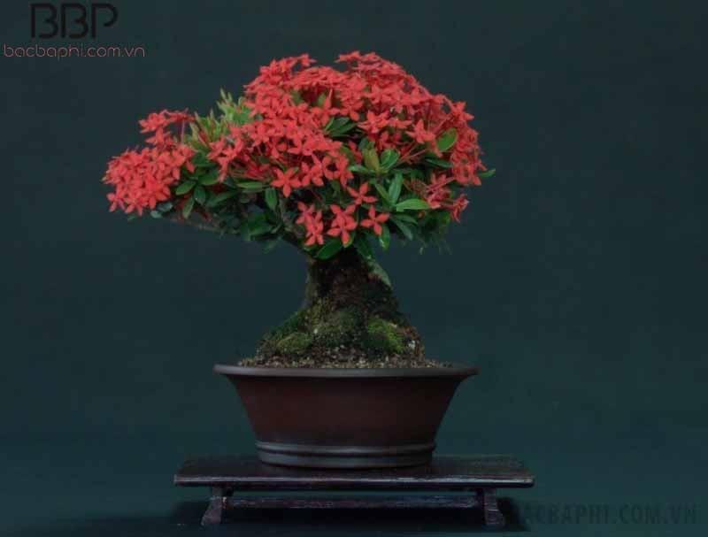 Cây bông trang có hoa màu đỏ đẹp mắt