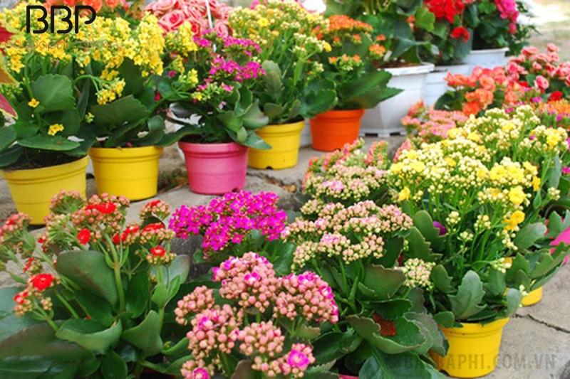 Cây hoa bỏng có nhiều màu sắc cho bạn lựa chọn