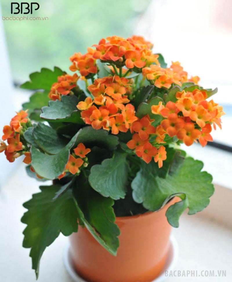 Cây hoa bỏng có thể trồng cả trước và sau nhà