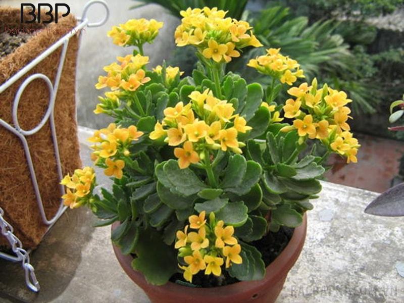 Cây hoa bỏng vàng phù hợp với người mệnh Thổ