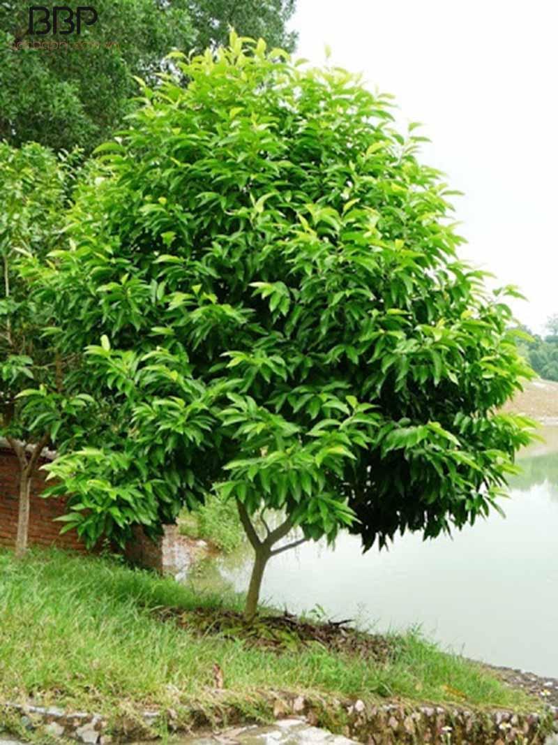 Cây hoa ngọc lan thân gỗ cao
