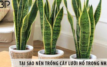 Có nên trồng cây lưỡi hổ trong nhà không?