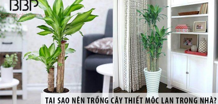 Có nên trồng cây thiết mộc lan trong nhà không?