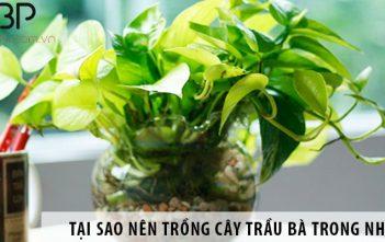 Có nên trồng cây trầu bà trong nhà không?