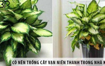 Có nên trồng cây vạn niên thanh trong nhà không?