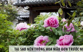 Có nên trồng hoa mẫu đơn trước nhà không?