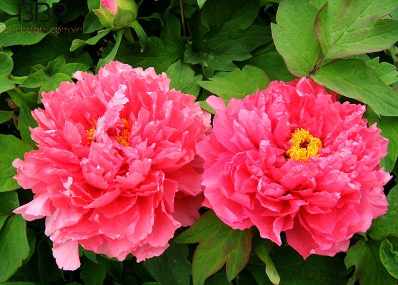 Mẫu đơn là loài hoa đẹp và có hương thơm cực kỳ quyến rũ