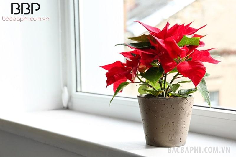 Có nên trồng cây hoa trạng nguyên ở trong nhà không? 1