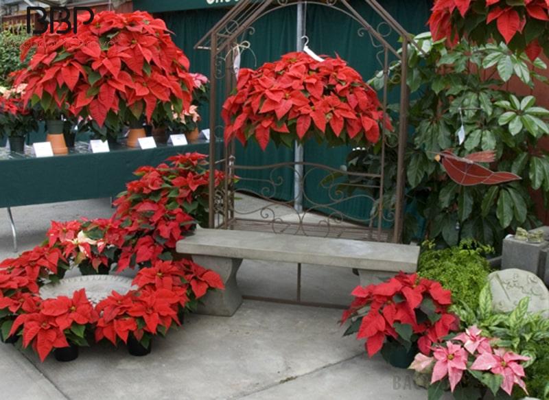 Hoa trạng nguyên trồng trong vườn nhà