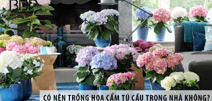 Có nên trồng cây hoa cẩm tú cầu ở trong nhà không?