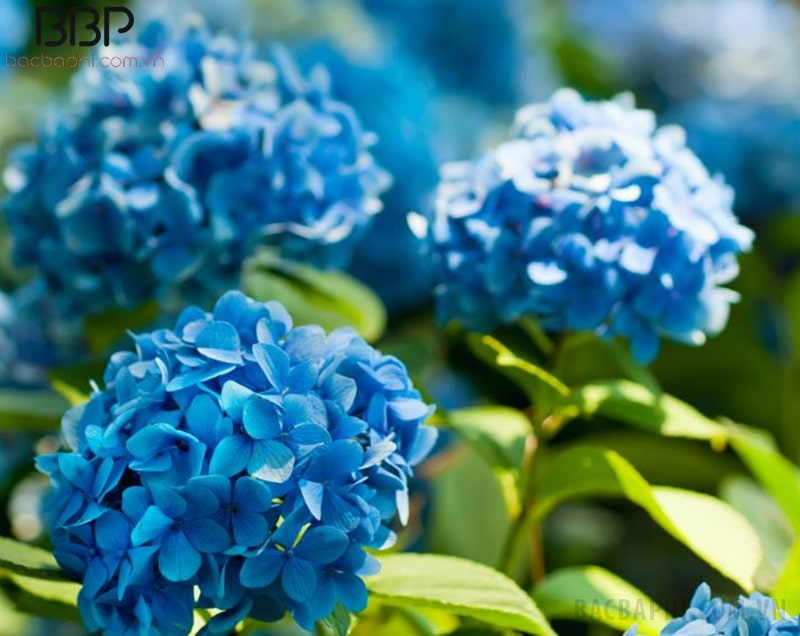 Bông Cẩm Tú Cầu màu xanh dương - màu rất hiếm trong các loại hoa