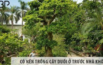 Có nên trồng cây duối ở trước nhà không?
