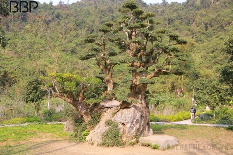 Cây Duối thân gỗ, có thể cao từ 4 - 8m