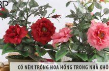 Có nên trồng cây hoa hồng ở trong nhà không?