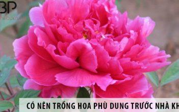 Có nên trồng cây hoa phù dung ở trước nhà không?