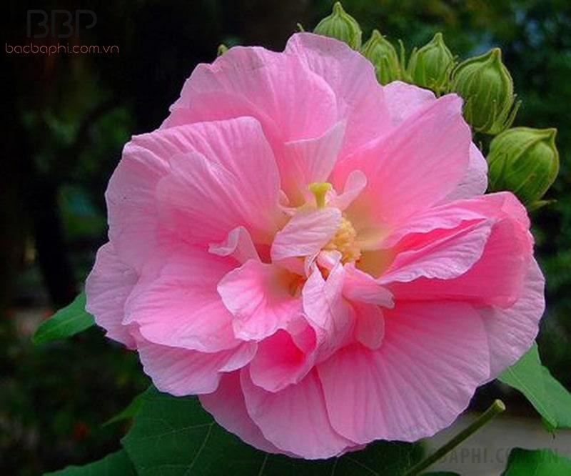 Hoa Phù Dung nở to đẹp với những cánh hoa xốp, mong manh