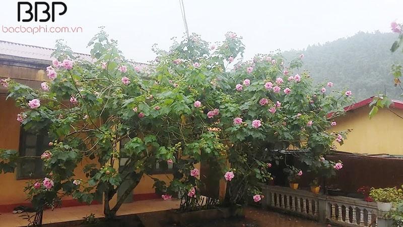 Cây hoa Phù Dung trước nhà mùa nở hoa rất đẹp