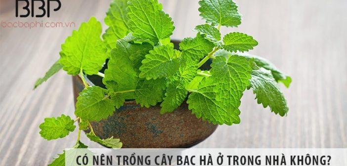 Có nên trồng cây bạc hà ở trong nhà không?
