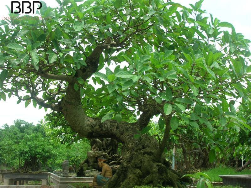 Cây Sung có thể cao tới 25 - 30m, cành lá xum xuê, xanh tốt