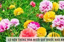 Có nên trồng cây hoa mười giờ ở trước nhà không?