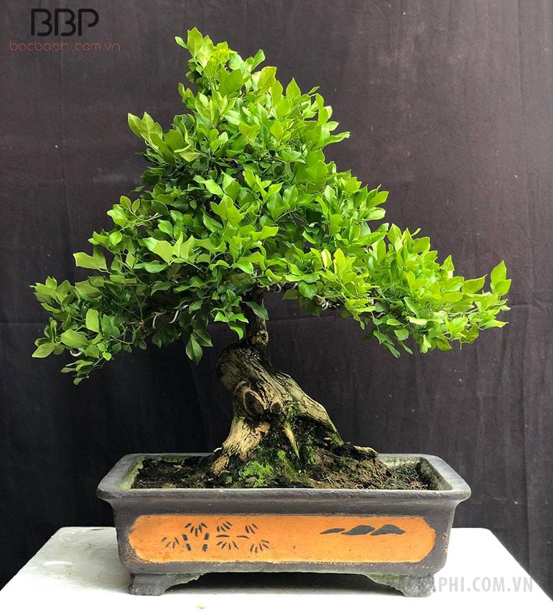 Cây Nguyệt Quế bonsai nhỏ trồng trong nhà