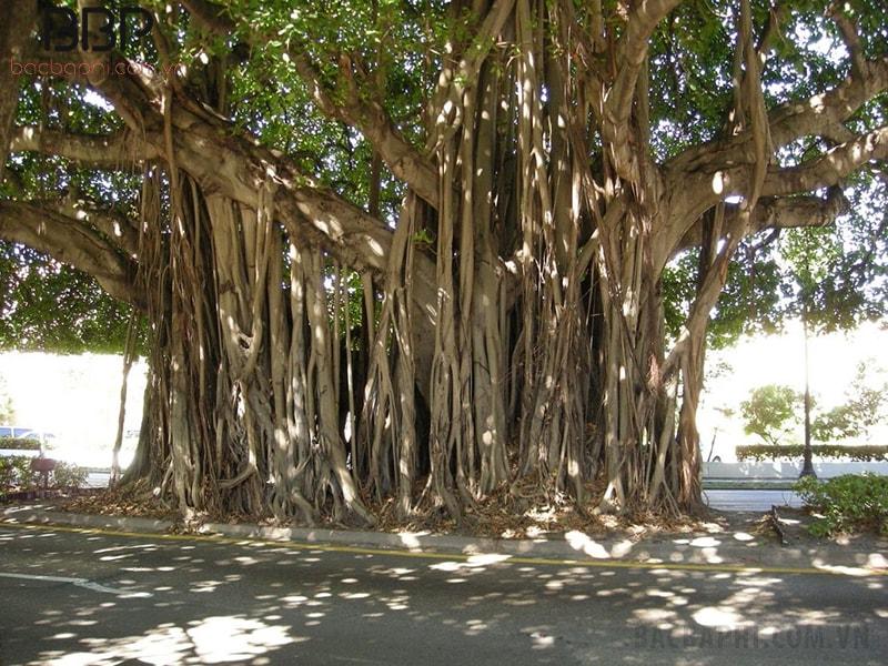 Cây Si có thể phát triển với tán lá rộng, có nhiều rễ phụ lớn nhỏ xung quanh