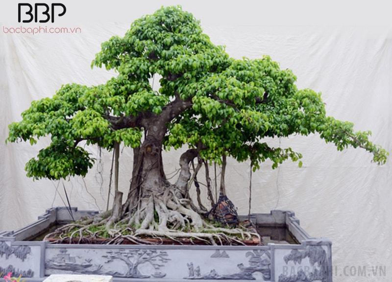 Nếu diện tích sân nhỏ, nên trồng cây Si trước nhà kiểu bonsai