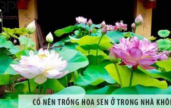 Có nên trồng cây hoa sen ở trong nhà không?