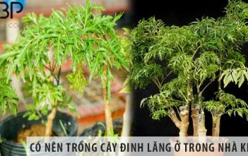Có nên trồng cây đinh lăng ở trong nhà không?