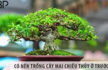 Có nên trồng cây mai chiếu thủy ở trước nhà không?