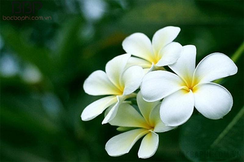 Hoa đại mang sắc trắng tinh khôi và thuần khiết