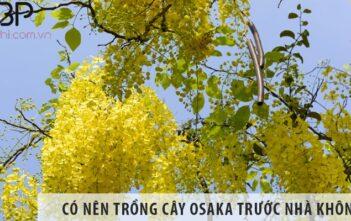 Có nên trồng cây osaka trước nhà không? Trồng có tốt không?