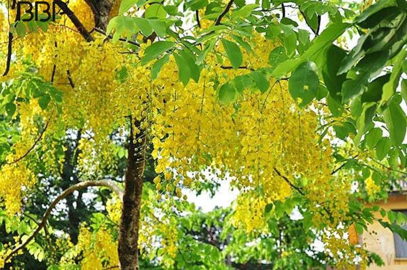 Osaka là loại cây có sức sống mạnh, chịu hạn tốt