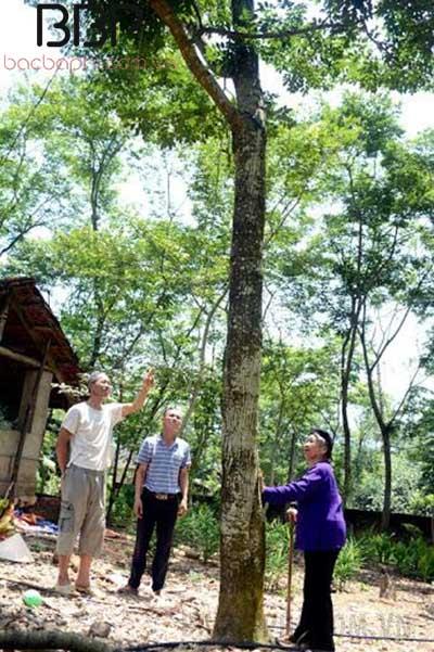 Sưa đỏ là một trong những loại cây gỗ quý đứng đầu bảng