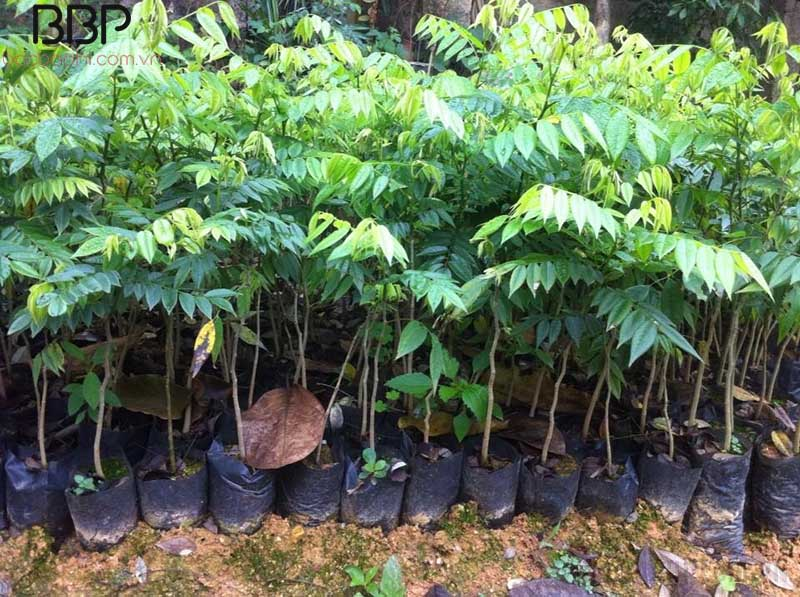 Cần chọn cây sưa đổ giống khỏe mạnh, không sâu bệnh