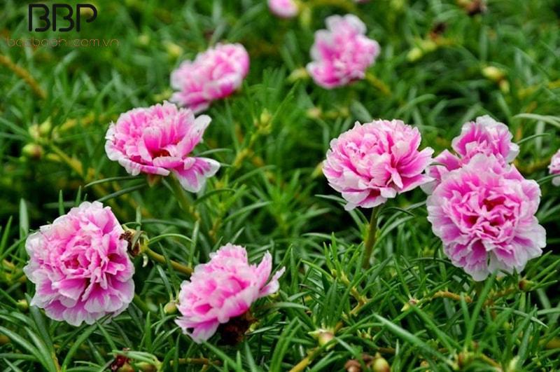 Hoa mười giờ là loại hoa có sức sống mãnh liệt, trồng được ở nhiều loại khí hậu