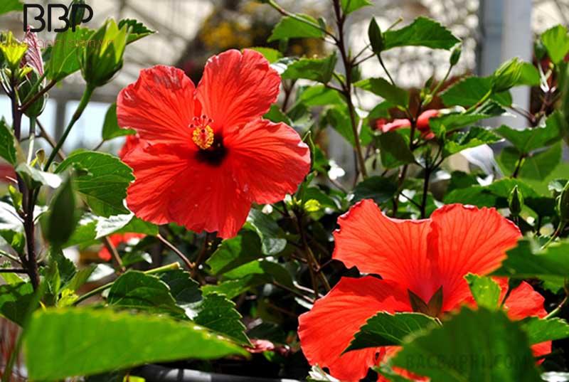 Hoa râm bụt là loại gây gắn liền với nhiều miền quê