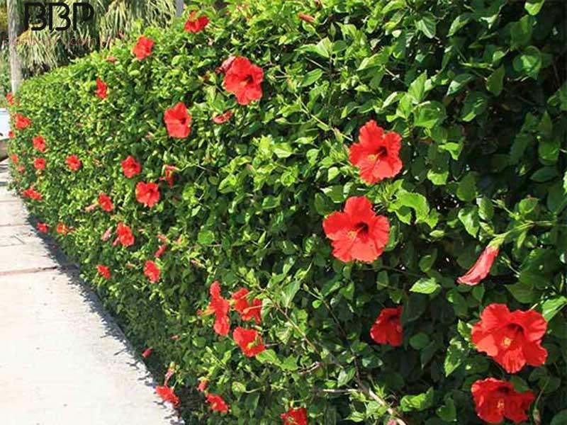 Hoa râm bụt thường được trồng để làm cây trang trí cho ngôi nhà